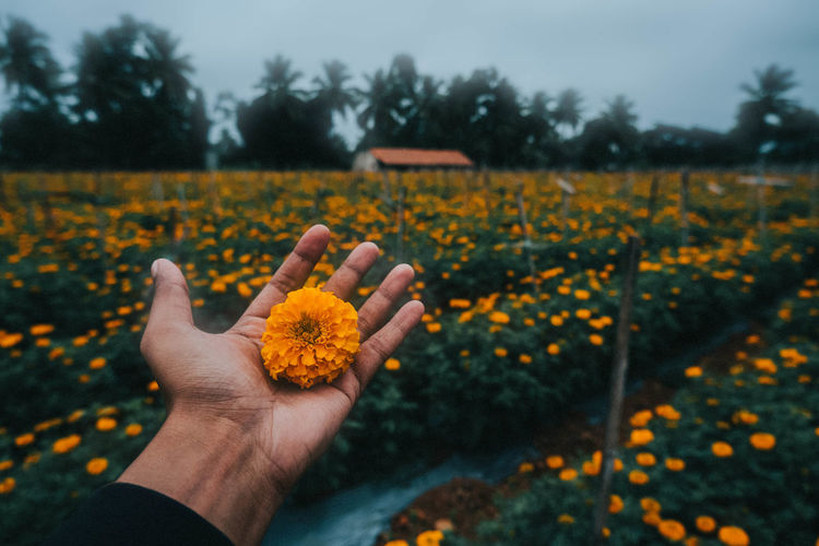 Cropped image of person hand on yellow flowering plant