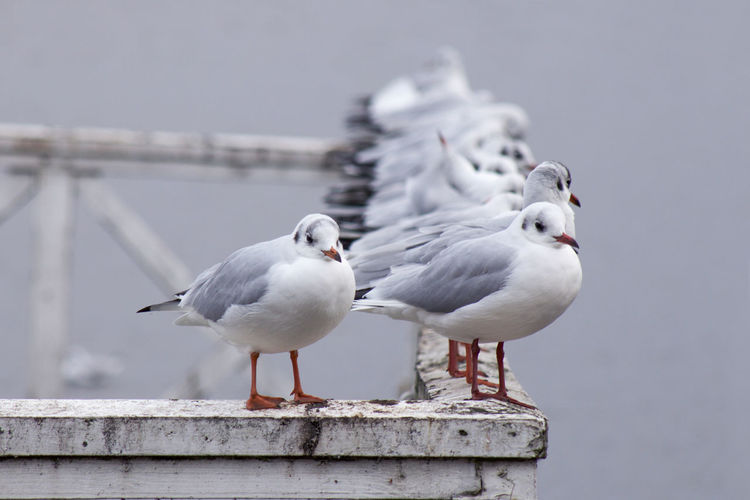 Close-up of seagulls perching on wood