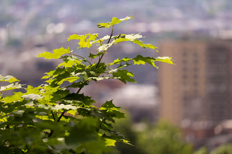 Downtown from Mont Royal EyeEm Best Shots EyeEmNewHere EyeEm Nature Lover Beauty In Nature Beautiful Landscape Landscape_Collection Tranquility Focus On Foreground Tree Flower Leaf Branch Plant Part Olive Flower Head Close-up Plant Sky Flowering Plant In Bloom Botany Plant Life Blooming