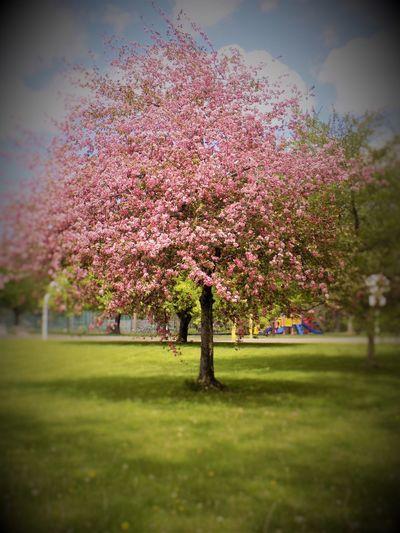 Pink Blossom Tree Betts Park Playground Park Tree Flowers