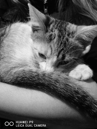 #lazycat Domestic Cat