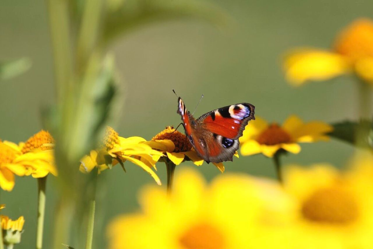 insect, animals in the wild, animal themes, flower, one animal, nature, plant, animal wildlife, fragility, no people, butterfly - insect, beauty in nature, selective focus, close-up, outdoors, growth, yellow, day, freshness, perching, flower head