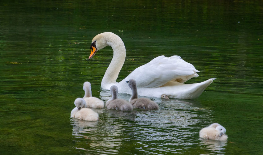 Swans in a lake