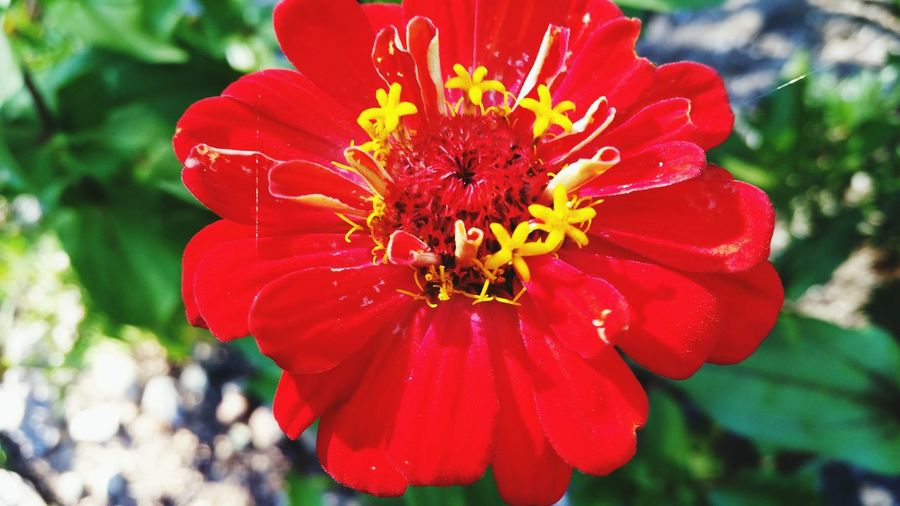 Zinnia Beauty In Nature Summer Home Is Where The Art Is