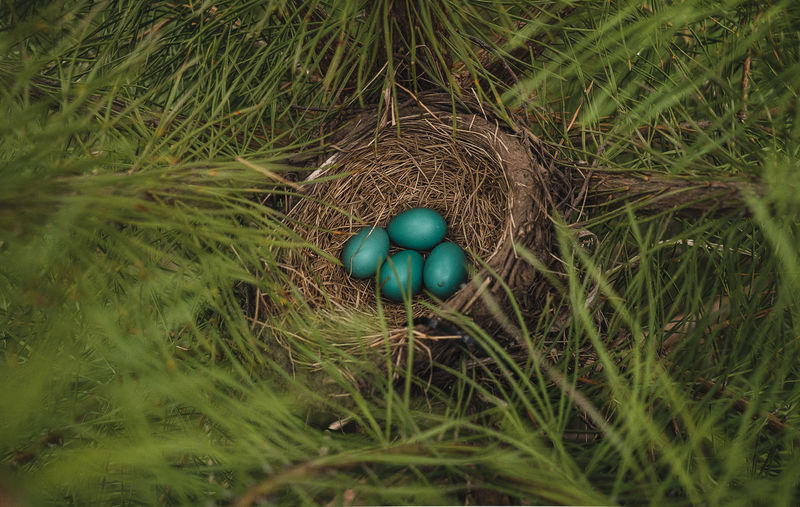 High angle view of eggs in nest on field