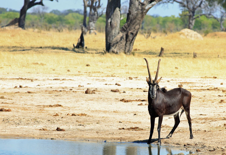 Animals In The Wild Animal Wildlife Safari Wildlife & Nature Hwange National Park Zimbabwe Southern Africa Travel Destinations Vacations Plains Savannah Outdoor Photography Mammal Wilderness Beauty In Nature Sable Antelope