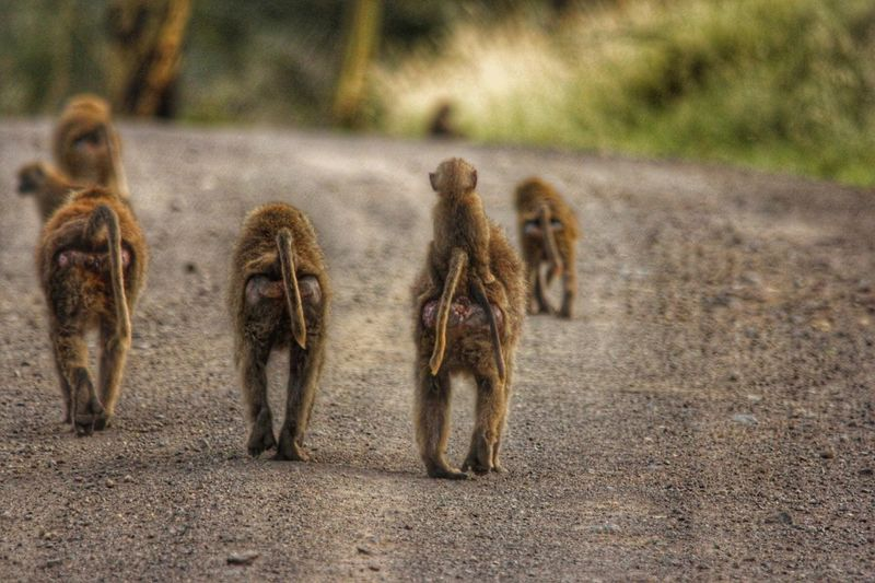 Hitching a ride Baboon Baboons Baboonbutts Takearide HopOn LakeNakuru