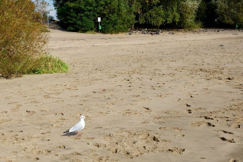 Another lonely gull Gull Outdoor Fall Outdoor Photography Elbe River Elbe Beach Land Animal Themes Animal Sand Tree Nature Beach Sunlight No People Animals In The Wild Day Bird Animal Wildlife One Animal Tranquility Beauty In Nature Outdoors