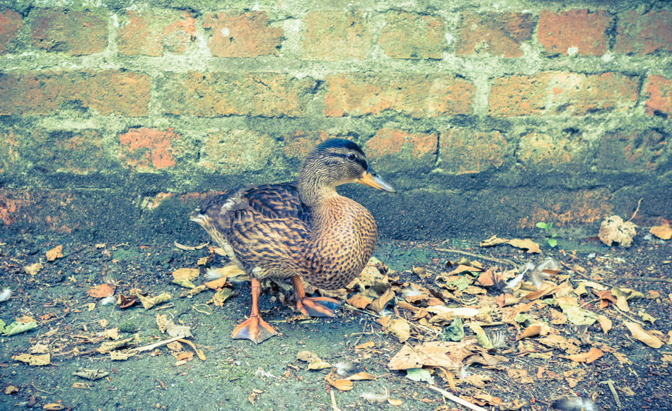 Female Duck, Brick Wall. Autumn Brick Wall Shy Bird Animal Themes Animals In The Wild Bird Brown Duck Day Duck Fall Leaves Feathered Friends Female Duck Leaves Nature No People One Animal Outdoors Pavement Web Feet Wildlife