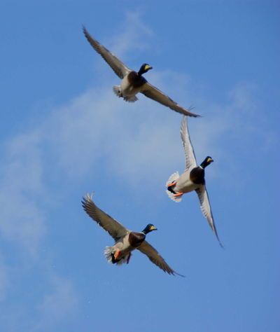 Trio Bird Nature Outdoors Clear Sky No People Day Animals In The Wild Birds Birds In Flight Birds In The Sky Природа Ducks EyeEm Best Shots Beauty In Nature Anlmals Clouds And Sky Clouds Sky EyeEm Gallery Heaven Capture The Moment Wildlife Birds кряква Mallard Stockente