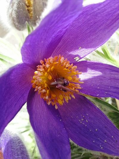 Kuhschelle. Der Sonne entgegen Pollen Bienenweide Zwanzig15 Frühling
