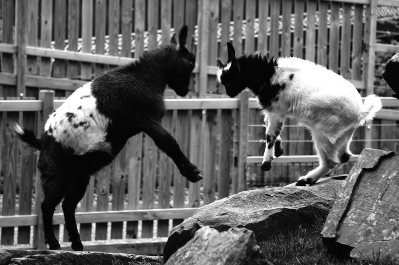 Goats fighting over rocks against wooden fence
