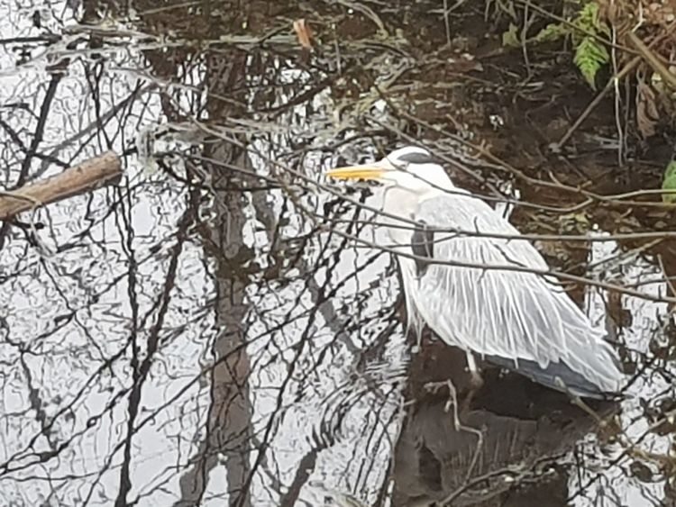 Grey Heron, Blauwe reiger Grey Heron On The River Shore Bird Animal Wildlife Nature Stork Branch Great Egret Beauty In Nature Outdoors