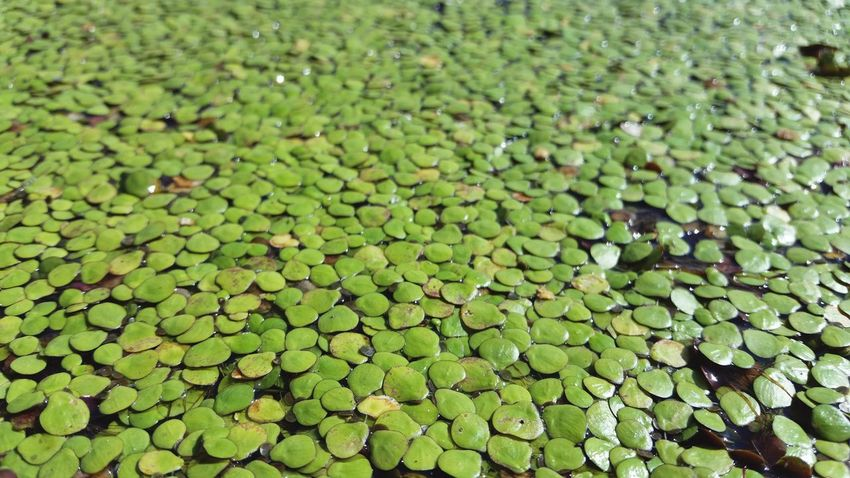 Water Weed Aquatic Plant Water Plant Green Weed Nature_collection
