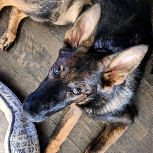 Puppy Eyes My Pet German Shepherd Puppy Sable Puppy Eyes Pets Domestic Animals One Animal Animal Themes Mammal Indoors  Dog High Angle View Looking At Camera Lying Down Close-up No People