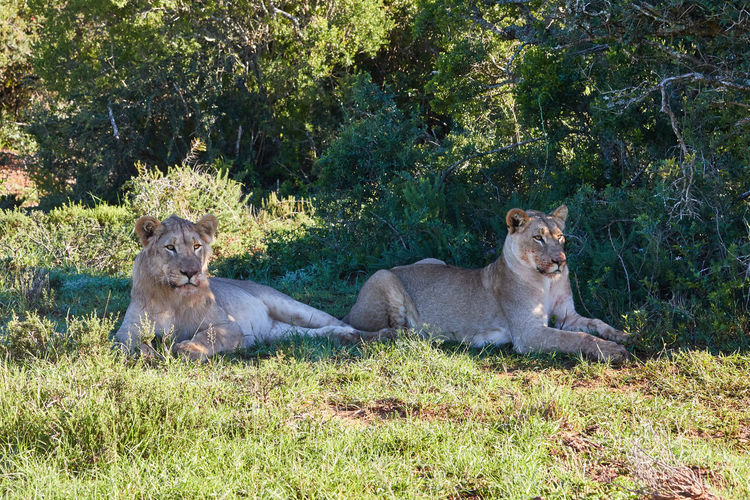 Two lions lying in the shade after their zebra meal