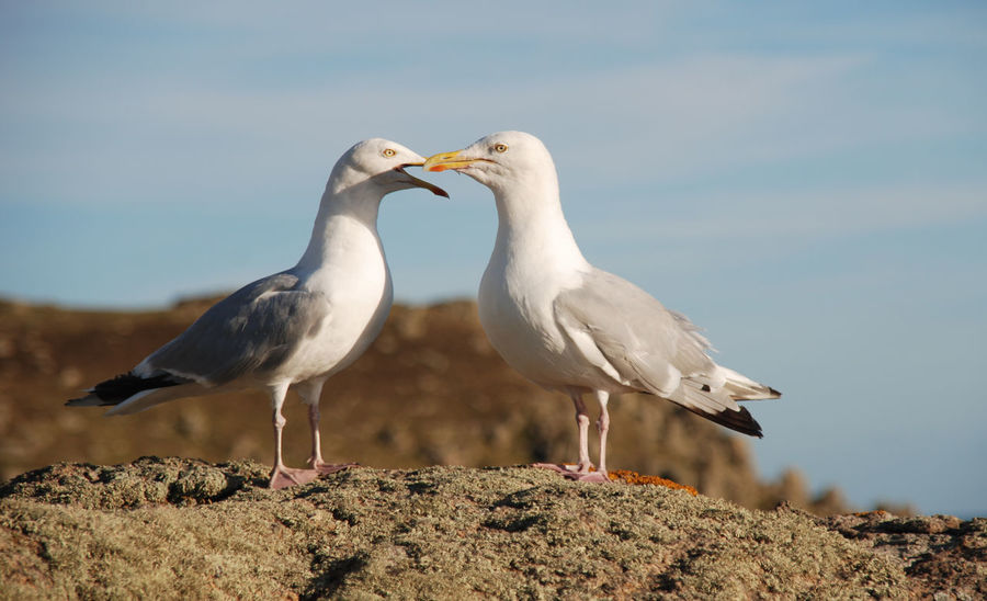 Seagulls Seagulls Animal Themes Animal Wildlife Animals In The Wild Beauty In Nature Bird Close-up Common Gull Day Flying Rats Laridae Larus Canus Nature No People Outdoors Pair Perching Seagull Seascape Seaside Sky Two My Best Travel Photo