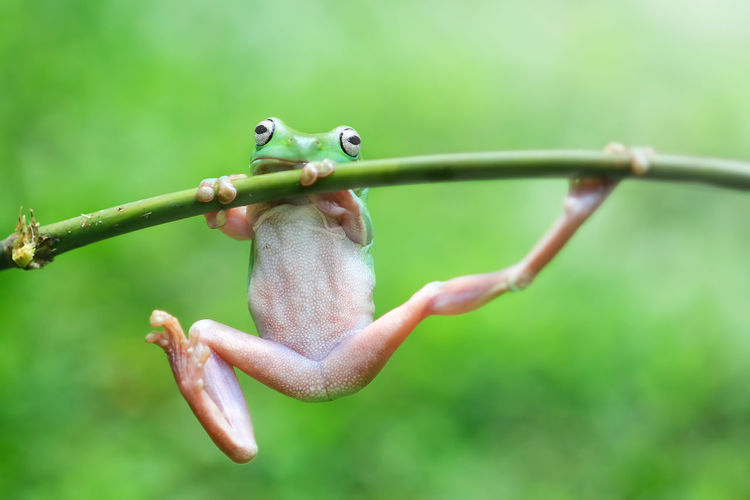 frogs, dumpy frogs, flying frogs, tree frogs on twigs Focus On Foreground Close-up Green Color Day No People Nature Animal Plant Safety One Animal Metal Security Wire Protection Fence Outdoors Barbed Wire Animal Themes Animal Wildlife Animals In The Wild