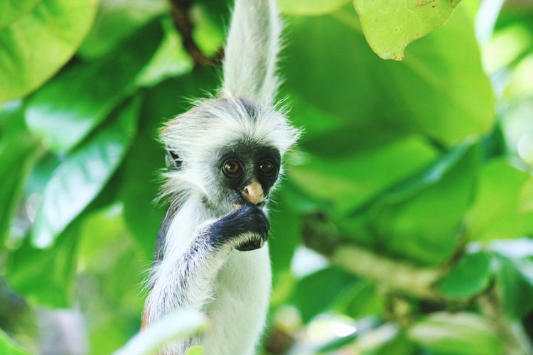 close up of red colobus Monkey hanging in green tree on Zanzibar Monkey Nature Eating Hanging Food Leaf Animal Tree Plant Zanzibar Tanzania Growth Close-up Beauty In Nature Animals In The Wild Green Color Animal Themes One Animal Focus On Foreground Animal Wildlife Plant Part Colobus Portrait