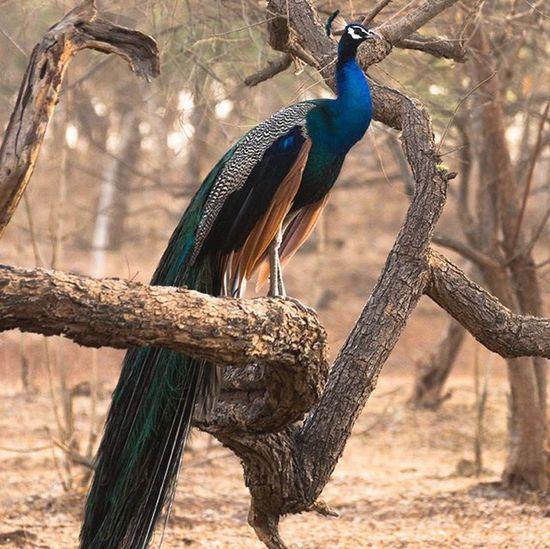 Peacock Nationalbird India Gir Forest Jungle Birdsofindiansubcontinent Gujarat Travel Sunrise Safari Instagram_ahmedabad