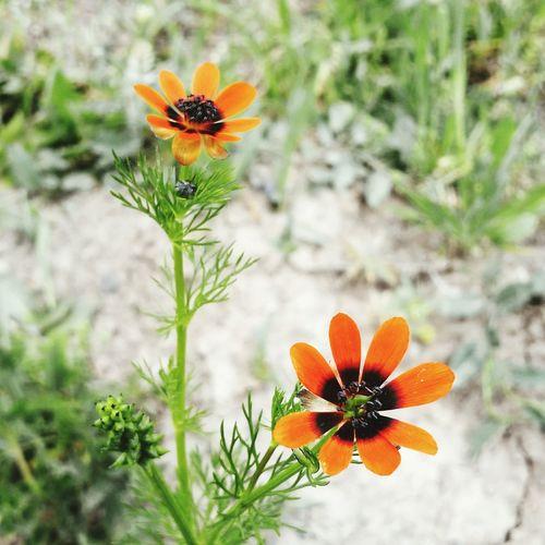Beautiful color pair; orange & black Orange Is The New Black Orange Nature_collection Summer Flowers Sun Nature Black