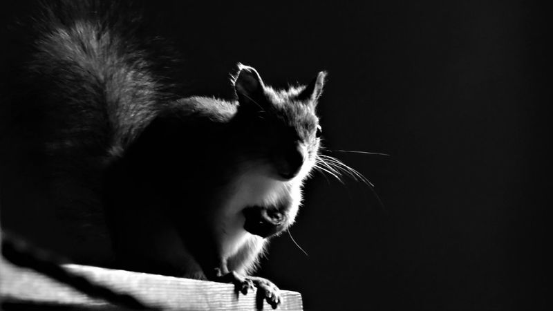 Squirrel Animal Themes Blackandwhite Close-up Day Indoors  Mammal No People One Animal