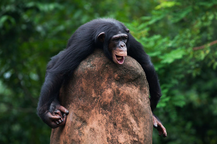 Close-up of chimpanzee on rock