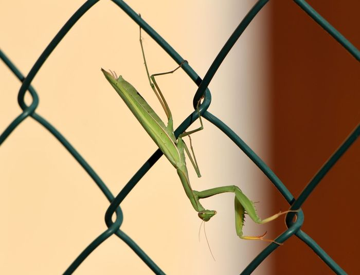 Close-up of praying mantis on chainlink fence