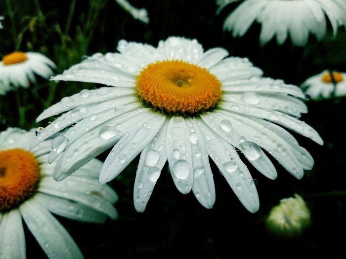 Close-up of wet daisy flower