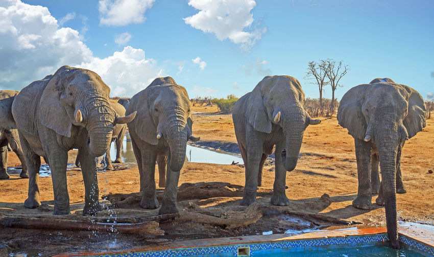 Herd of four elephants standing next to each other drinking from a camp swimming pool Animal Animal Themes Mammal Group Of Animals Sky Elephant Water Animal Wildlife Nature Day Animals In The Wild Cloud - Sky No People Standing Herbivorous Outdoors African Elephant Drinking Hwange National Park Safari Wilderness Scenics - Nature