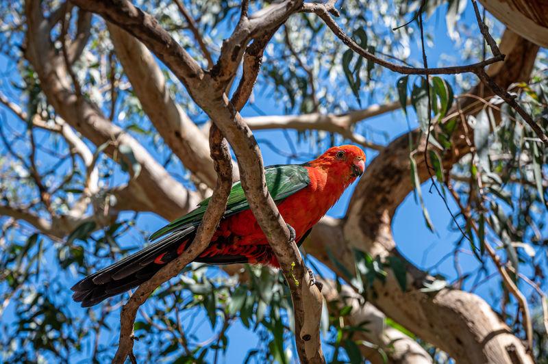 Male australian king parrot, alisterus scapularis, perched on tree branch, kennett river, australia