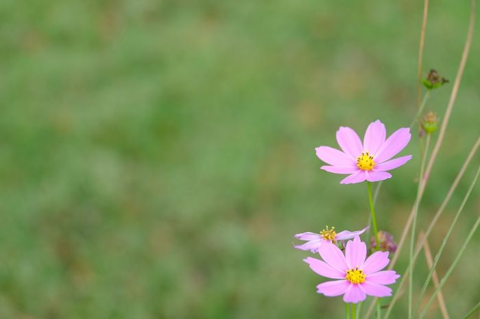 EyeEm Selects Flower Flowering Plant Freshness Plant Fragility Vulnerability  Beauty In Nature Close-up Pink Color Botany No People Cosmos Flower