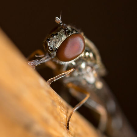 Macro Macrophotography Fly Bug Nature Wildlife Outdoors Garden EyeEm Selects Insect Close-up