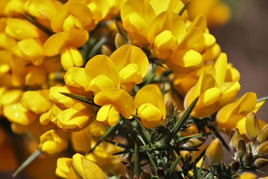 Abundance Beauty In Nature Blooming Blossom Botany Bud Close-up Day Flower Flower Head Focus On Foreground Fragility Freshness Gorse Flowers Growing Growth In Bloom Nature No People Outdoors Petal Plant Selective Focus Tranquility Yellow