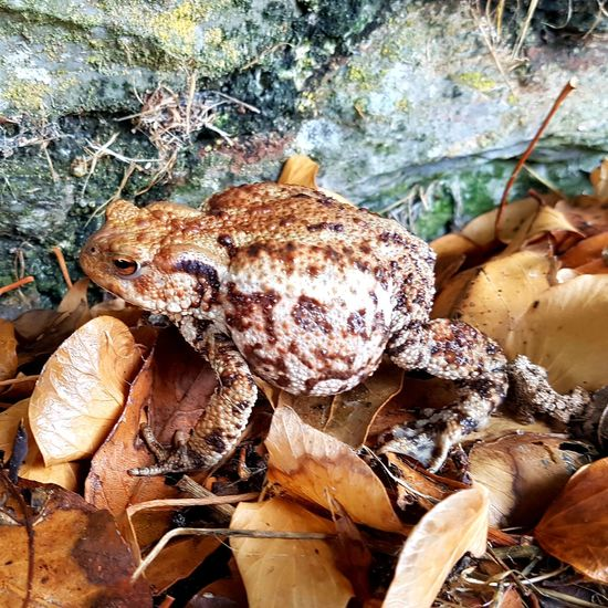 British common warty toad Toad Wart Warty Brown Frog Amphibian Slime Leaf Webbed Feet Legs EyeEm Nature Lover Eyes Jump Jumping Garden Pond Life Pond Wildlife Camouflage Hidden Field Leaf 🍂 Sea Life UnderSea Water Underwater Sea Beach Animal Themes Close-up
