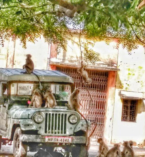 Monkey Swinging Monkeys On Vehicle Moneys Enjoying N Resting