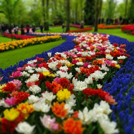 Flowers Tulips Colors Colorful Keukenhof Garden Holland Nederland Flower Garden Flower Colors Flowerporn Flower Collection Flower Photography Flower Flowers,Plants & Garden Flowers, Nature And Beauty Flowers Collection  Flowerphotography Flowerpark Flowerlovers Flowerslovers Holland Tulips Holland Flowers Garden Photography Garden Flowers