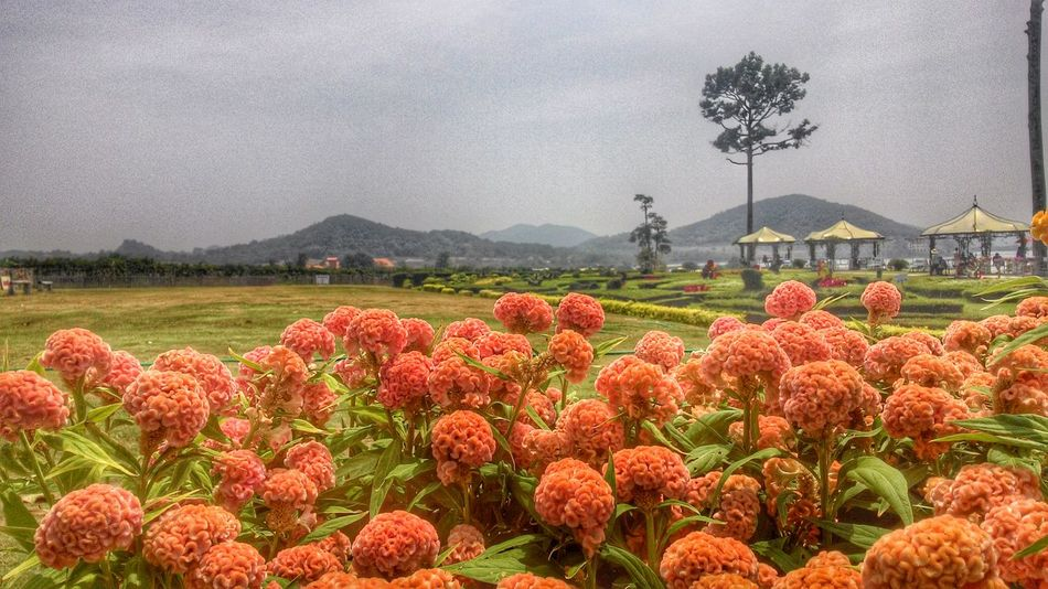 Flower Freshness Fragility Mountain Growth Red Beauty In Nature Rural Scene Nature Agriculture Field Cloud - Sky Abundance Petal Plant Flower Head Sky Mountain Range Springtime Day