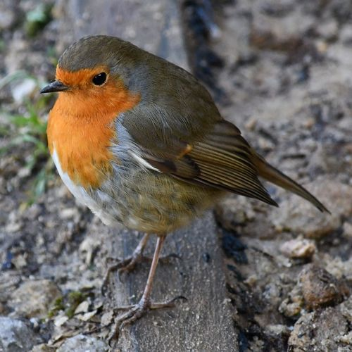 living on the edge Robin Redbreast Bird One Animal Animals In The Wild Animal Wildlife Close-up Nature Animal Themes