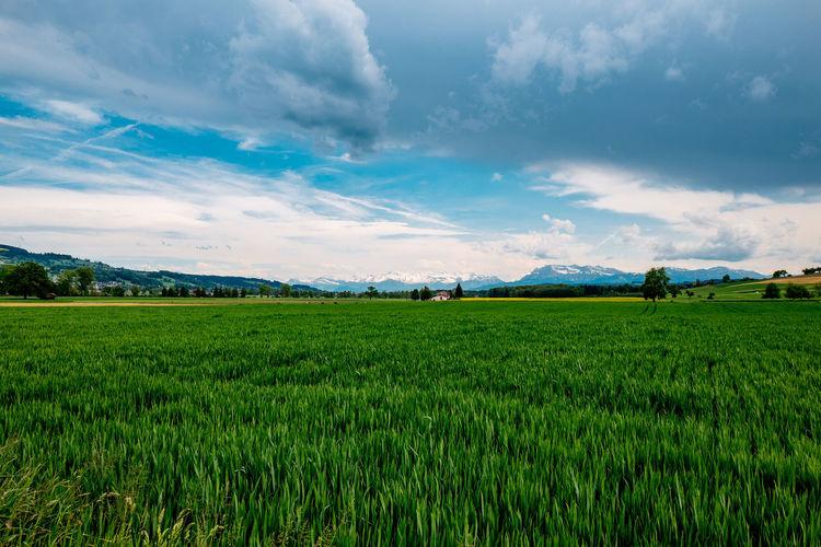 Crop In Field Against Cloudy Sky