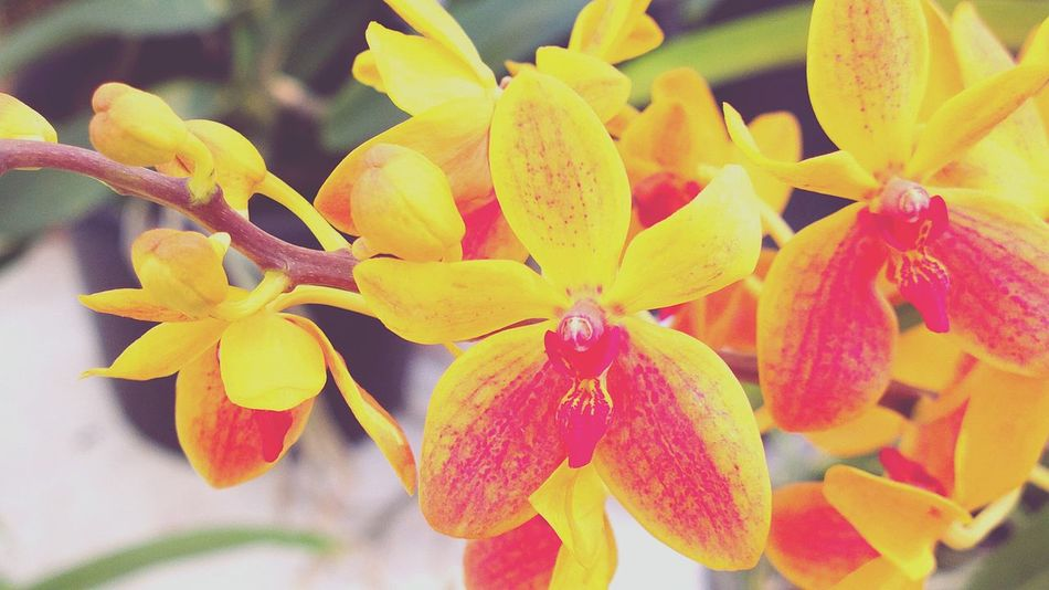 EyeEm Selectsorchid yellow pink multi colors Beauty In Nature Plant Growth Petal Freshness Close-up Outdoors Gaeden Exibition