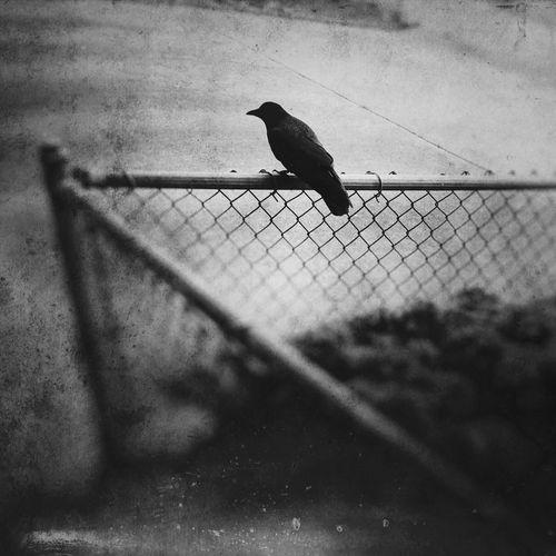 Bird Animal Themes Crow Perching