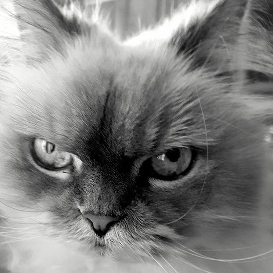 Persian Cat  Close-up Pets Looking At Camera Portrait Blackandwhite Black & White Lenka Lenkacam Cat Bnw Cat
