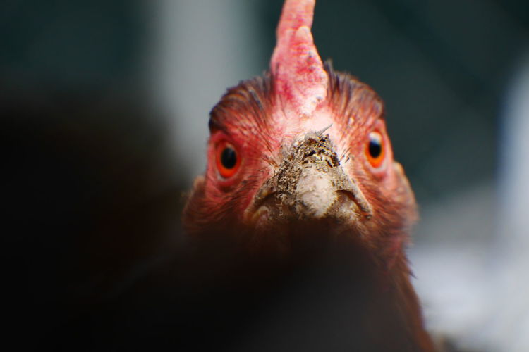 Chickens, they are different when you see them walking around than when you eat them. Animal Animal Eye Animal Head  Animal Themes Beak Bird Chicken Chicken - Bird Close-up Feather  Focus On Foreground Nature No People Portrait Selective Focus