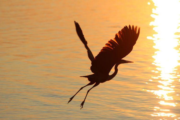 Crane taking flight Ottawa River