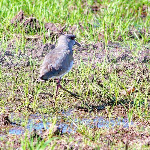 Bird Animals In The Wild Nature Grass One Animal Animal Wildlife Animal Themes Beauty In Nature Nature Uruguaiana