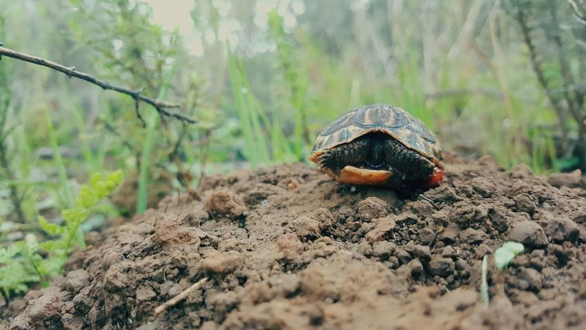 EyeEm Selects One Animal Animal Wildlife Nature Outdoors Tortoise Close-up Beauty In Nature Tortoise Shell