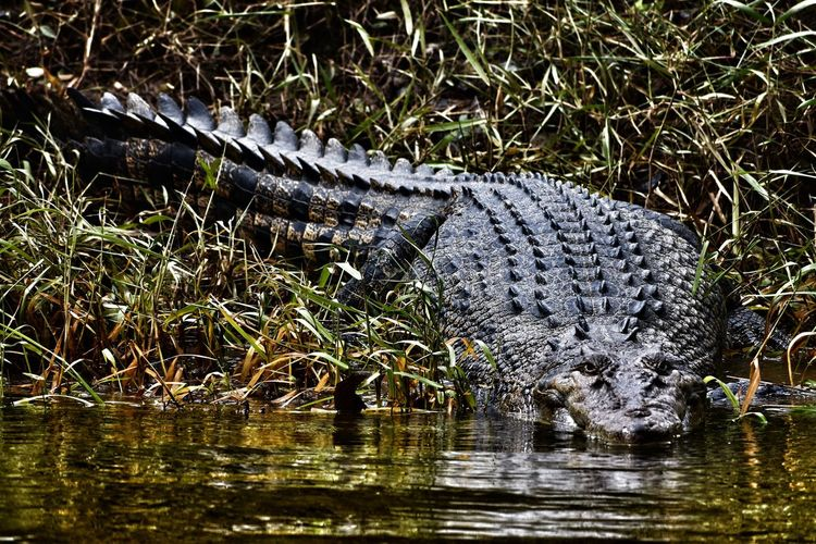Animal Themes Animal One Animal Animal Wildlife Animals In The Wild Water Crocodile Vertebrate Reptile Lake Waterfront Nature No People Day Reflection Alligator Wetland Grass Outdoors Drinking Swamp Animal Scale