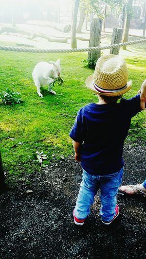 Oscar and the albino wallaby! Wallaby Kangaroo Albino Cute Children Zoo Nimals Unusual Family