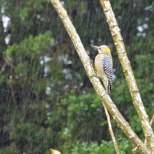 Woodpecker Gray And Yellow Animals In The Wild Animal Wildlife Bird Perching Stand Alone In A Tree Rainy Day In The Rain #urbanana: The Urban Playground